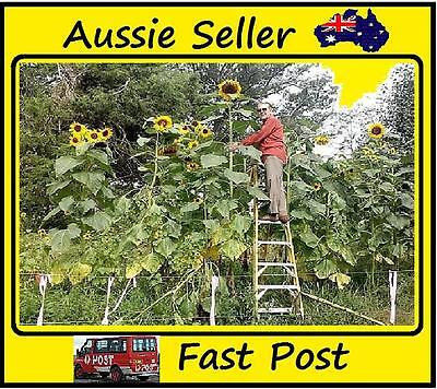 "20 Pcs Skyscraper ""12 Feet Tall"" Sunflower Seeds ,Easy Grow Home Garden"