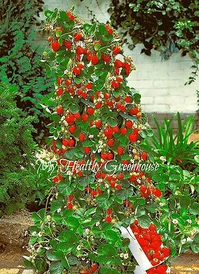 SEEDS – Vertical Hokowase Strawberry (Fragaria Hokowase) Grow Indoor or Outdoor
