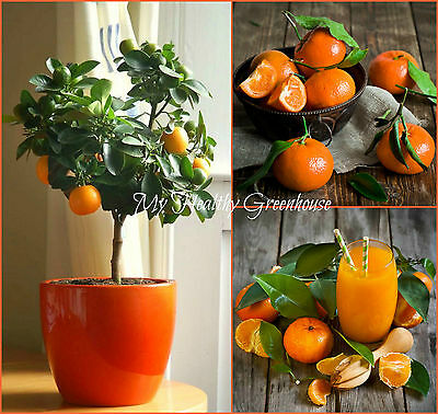 "SEEDS - Dwarf Tangerine Self-Pollinating ""Citrus tangerina""–Grow the Same Size!!"