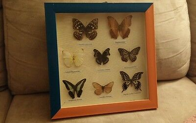 8 Rare Butterflies Mounted And Framed In Handmade Display Case