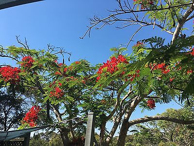 POINCIANA TREE RED VIBRANT FLOWERS Fern Like Leaves For SHADE 1 X  YOUNG PLANT