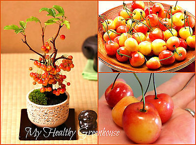 "SEEDS – Bonsai Indoor/Outdoor ""Bigarreau Napoléon"" (prunus avium) Cherry Tree"