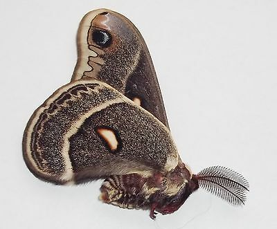 MOTH HYALOPHORA COLUMBIA  MALE FROM CANADA wild caught 2016 A1
