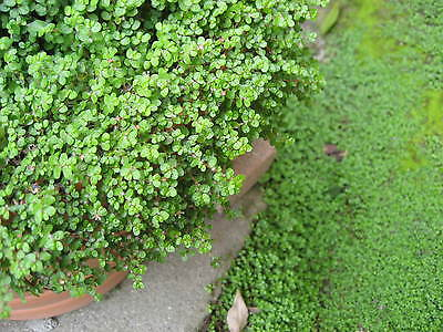 Soleirolia Baby Tears, Ground Cover x10 plants, Bargain Not for NT