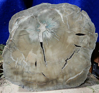 Arizona Rainbow Petrified Wood-Woodworthia-Polished End Cut-FABULOUS