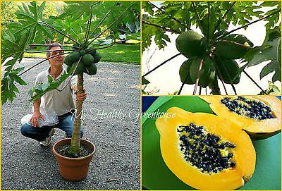 "SEEDS - Dwarf Hawaiian Low Bearing Solo Papaya ""Waimanalo"" Easy Grow in Pots!"