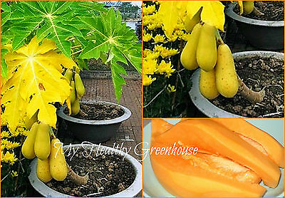 "50 SEEDS – Low Bearing Self-fertile Carica Papaya ""Khon Kaen"" Sweet Orange Flesh"