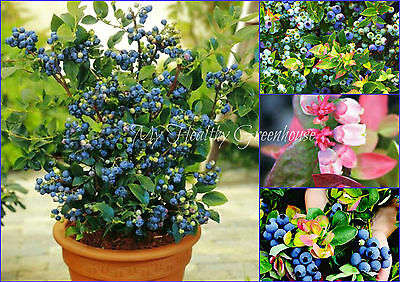 "SEEDS - Dwarf Blueberry ""Jelly Bean"" (Vaccinium x) Hardy  Self-fertile Bush!"