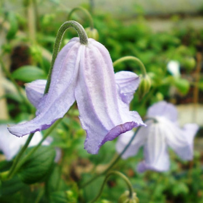 Waldrebe (Clematis) 'Hanna' Viticella Gruppe