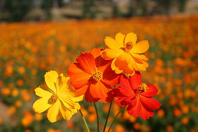 450 Seeds of Cosmos Sulfur BRIGHT LIGHTS VARIES /Colour Yellow Red Orange