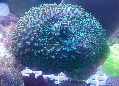 *SALE* Neon Green Elephants Ear Coral for Marine Reef Tank Not Frag
