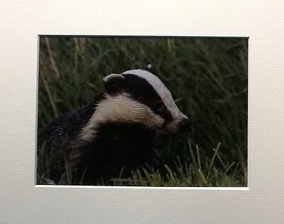WILD BADGER EMERGING  IN THE GRASS  : MOUNTED 10x8 PRINT READY TO FRAME . SIGNED