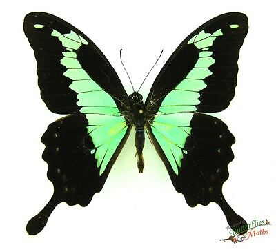 Apple green swallowtail butterfly Papilio phorcas SET x1 TS A1- M papilionidae