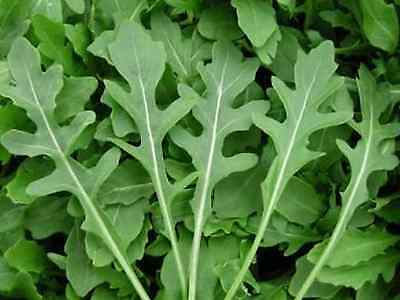 Wild Rocket (Appox 1000 Seeds) Excellent Green Salad,Easy To Grow