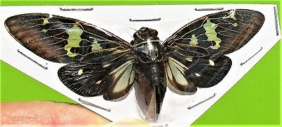 Awesome Mottled Cicada Gaeana laosensis FAST SHIP FROM USA