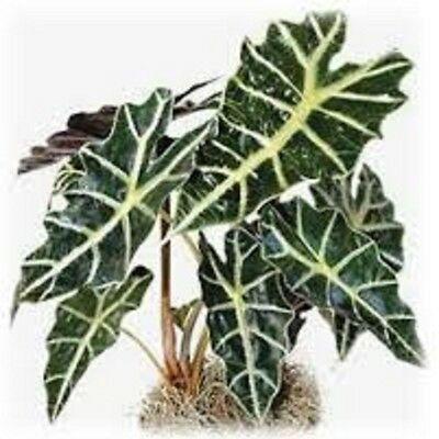 Alocasia Amazonica Polly tropical indoor plant in 125mm pot