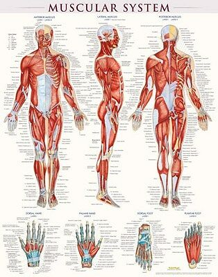High Quality Laminated Muscular System Poster 22x28