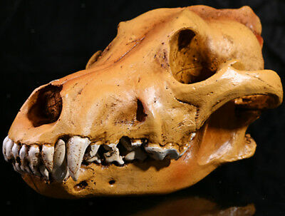 Resin Wolf Skull Replica Head Model Figurine Collectable Medical Teaching