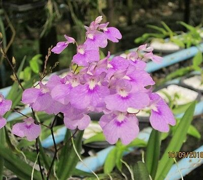 Ionopsis utricularioides : Orchid Plant  size 3.5. pot