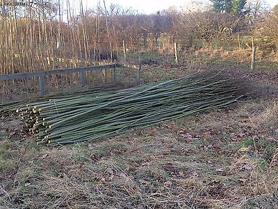 100 x 10ft (3m)  FAST GROWING Willow Whips S.Viminalis for Living Structures.