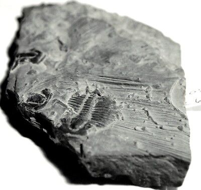 Fossil-Trilobyte,arthropods,multicluster,collectable,FOS-C66,89x57x11mm,248.06c