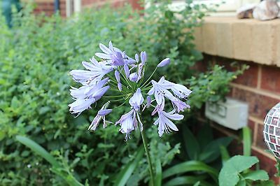 Agapanthus small 18cm tall sml leaved blue flower
