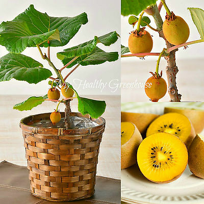 "SEEDS - RARE Dwarf Yellow Flesh Fuzzy Solo Kiwi Fruit Tree ""Actinidia deliciosa"""