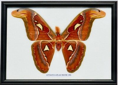 Real Attacus Atlas Moth Giant  (Male) Insect. Taxidermy In Framed Display