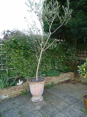 Large Olive Tree in pot