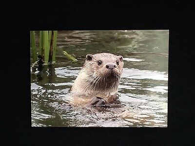16 X 12 Inch BRITISH OTTER ( Lutra Lutra) MOUNTED PRINT.  Ready To Frame.