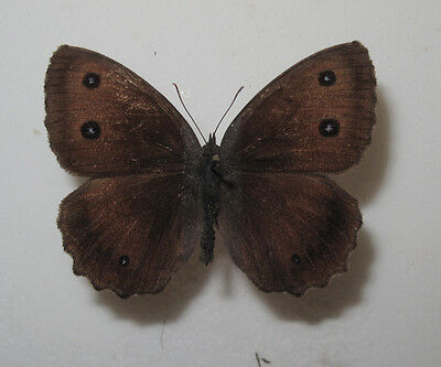 MINOIS DRYAS SSP. Male from S Poland VERY RARE
