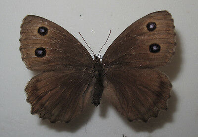 MINOIS DRYAS SSP. A1Female from S Poland VERY RARE