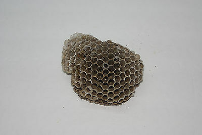 Paper Wasp Hornet Nest Hive Taxidermy Science Art Project (Nest #1025)