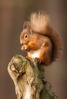 10x8 INCH MOUNTED PRINT CUTE WILD RED SQUIRREL IN SCOTLAND