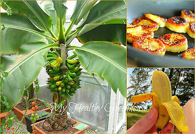 "SEEDS – Everbearing Super Dwarf 4' Tall Musa ""Namwa"" or ""Nam Wah"" Banana Tree"