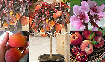 "SEEDS – Spectacular Looking Dwarf Peach ""Crimson Bonfire"" (Prunus Persica) Fruit"