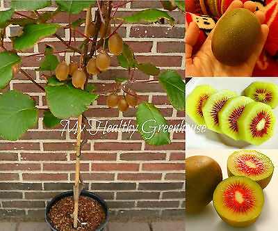 "SEEDS – Upright Dwarf Kiwi ""Rainbow"" Fruit Seeds From China - Extra Sweet!"