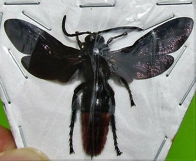 Iridescent Scoliid Wasp Megascolia azurea Male Spread FAST SHIP FROM USA