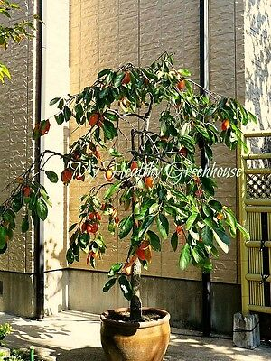 SEEDS – Self-pollinating Dwarf Hachiya Asian Persimmon – Food of the Gods!
