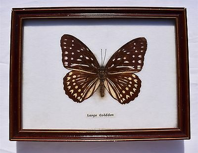 Framed Butterfly: LARGE GOLDEN, Taxidermy, Insects