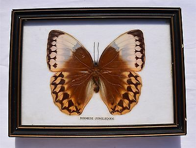Framed Butterfly: BURMESE JUNGLE QUEEN, Taxidermy, Insects