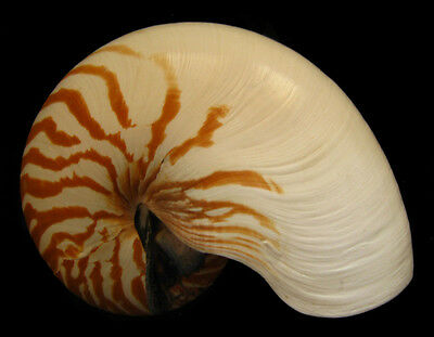 Conchiglia Shell NAUTILUS POMPILIUS Papua N.Guinea 180 mm # NATURAL