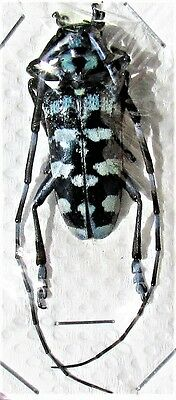Silver & Black Long-horn Beetle Anoplophora granata FAST SHIP FROM USA