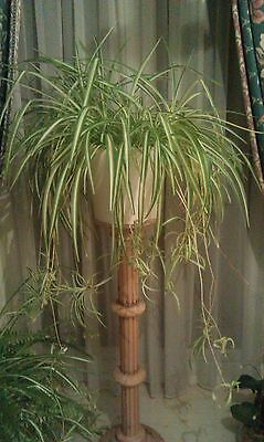 BIG statemement healthy beautiful trailing spider plant in WHITE pot