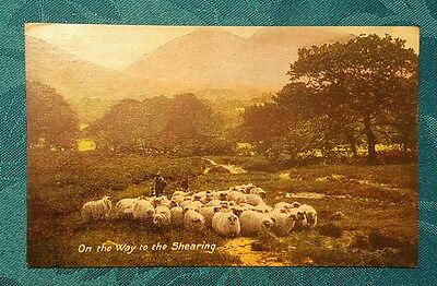 On the way to the shearing vintage POSTCARD unused