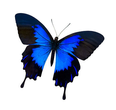 Ulysses Butterfly Papilio ulysses ulysses Male Folded FAST FROM USA