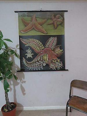 Vintage Pull Roll Down  School Wall Chart Poster Of Starfish Jung Koch Quentell