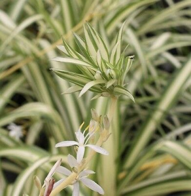 Spider Plants x3 - Young And Healthy Plant FREE POSTAGE