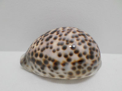 Natural Cowrie Seashell From The Ocean