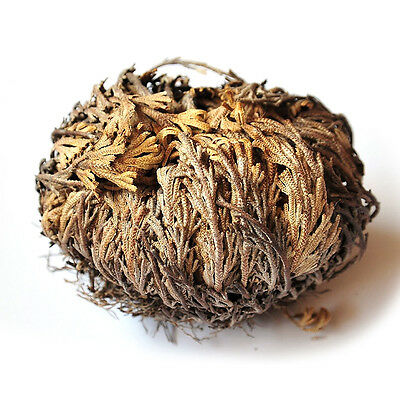 Live Resurrection Plant - Rose of Jericho Dinosaur Plant Air Fern Spike Moss
